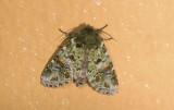 Notodontidae; Heterocampinae; Disphragis lucoides?  9476.jpg