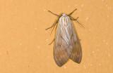 Erebidae; Arctiinae; Amastus sp.  9479.jpg