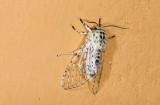 Noctuidae; Pantheinae; Gaujonia renifera?  9481.jpg