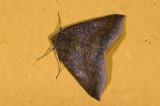 Geometridae; Ennominae; Bassania sp. ?  9482.jpg