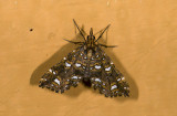 Crambidae; Spilomelinae sp.?  9483.jpg