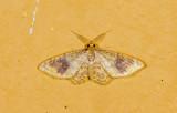Geometridae; Larentiinae; Eois sp.?  9487.jpg