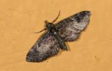 Geometridae; Larentiinae; Eupithecia sp.  9488.jpg