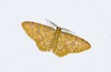 Geometridae; Larentiinae; Eois sp.?  9493.jpg