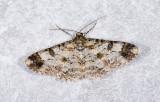Geometridae; Ennominae; Iridopsis sp.  9498.jpg
