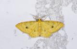 Geometridae; Larentiinae; Eois sp.?  9500.jpg