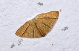 Geometridae; Ennominae; Mimosema sp.  9504.jpg