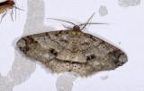 Geometridae; Ennominae; Melanolophia reducta?  9511.jpg