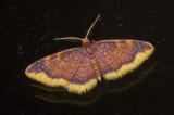 Geometridae; Sterrhinae; Tricentrogyna vinacea?  9522.jpg