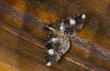 Geometridae; Ennominae; Melanoscia sp.  9523.jpg