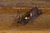 Noctuidae; Calymniodes sp.  9524.jpg