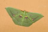 Geometridae; Geometrinae; Rhodochlora brunneipalpis?  9531.jpg