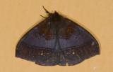 Saturniidae; Cercophaninae; Janiodes sp. ?  9532.jpg