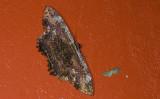 Erebidae; Erebinae; Thermesiini; Letis sp.  9538.jpg