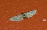 Geometridae; Larentiinae; Eupithecia sp.  9539.jpg