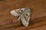 Geometridae; Ennominae; Pero sp.  9544.jpg