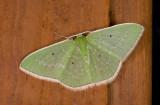 Geometridae; Geometrinae; Synchlora indecora ?  9547.jpg