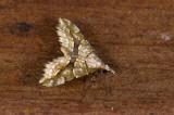 Pyralidae; ?  9551.jpg