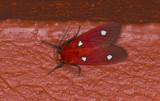 Erebidae; Arctiinae; Hyperthaema perflammans?  9556.jpg