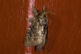 moth  s9558.jpg