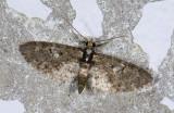 Geometridae; Larentiinae; Eupithecia sp.  9560.jpg
