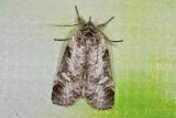 moth  n9561.jpg