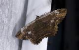 Erebidae; Erebinae; Thermesiini; Letis sp.  9574.jpg