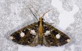 Geometridae; Ennominae; Melanoscia sp.  9575.jpg