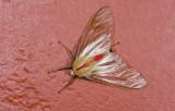 Erebidae; Arctiinae; Amastus rubridorsata?  9580.jpg