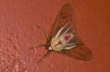 Erebidae; Arctiinae; Amastus rubridorsata?  9582.jpg