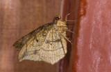 Geometridae; Ennominae;   9585.jpg