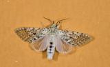 Noctuidae; Pantheinae; Gaujonia renifera?  9590.jpg