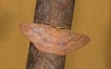 Geometridae; ?  9592.jpg