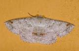Geometridae;  9595.jpg