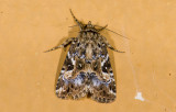 moth  9596.jpg