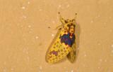 Erebidae; Arctiinae; Amaxia pulchra?  9597.jpg