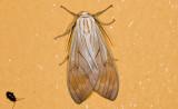 Erebidae; Arctiinae; Amastus sp.?  9601.jpg