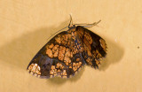 Geometridae; Ennominae; Melinodes;   9603.jpg