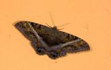 Erebidae; Erebinae; Thermesiini; Ascalapha sp.  9606.jpg