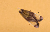 Erebidae; Arctiinae; Arctiini; Bertholdia sp.  9608.jpg