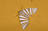 Geometridae; Ennominae; Pityeja histrionaria  9614.jpg