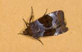 Noctuidae; Hadeninae; Hampsonodes sp.?  9616.jpg