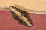 Erebidae; Erebinae; Ophiusini; Zale sp. ?  9619.jpg