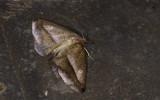 Geometridae; Ennominae; Bassania sp. ?  9620.jpg
