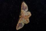 Geometridae; Larentiinae; Eois sp.?  9624.jpg
