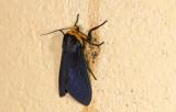 Erebidae; Arctiinae; Elysius sp.?  9628.jpg