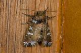 moth  9630.jpg