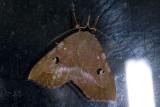 Erebidae; Eulepidotinae; Panopodini; Goniocarsia sp?  9640.jpg