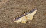 Geometridae; Larentiinae; Eois sp.?  9642.jpg