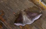 Geometridae; Ennominae; Bassania sp. ?  9644.jpg